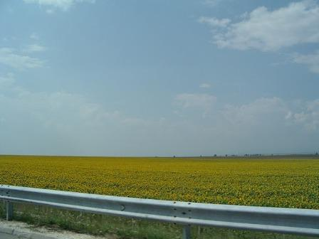 0317sunflower_field.JPG