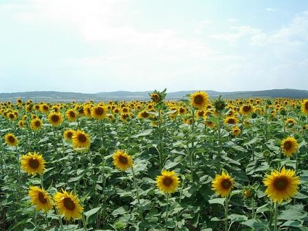 0317sunflower_field_2.JPG